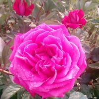 Jak różowy to róże...