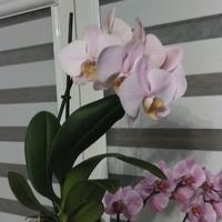 kwitnące storczyki :)
