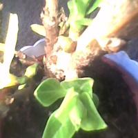 Liście rosną