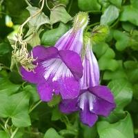 Maurandya Scandens w Botanicznym
