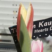 Pierwszy tulipan się już uśmiecha