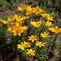Słoneczne liliowce