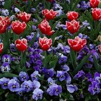 Tulipany i fiołki ogrodowe