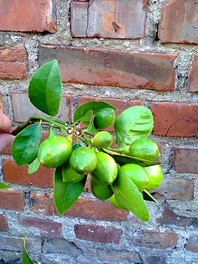 Cytryna Meyera owoce