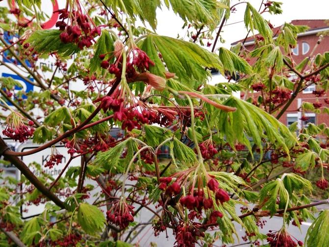 Kto mi powie co to za krzew?(drzewko?)