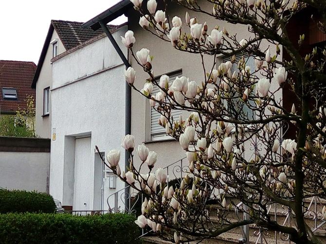 Kwitną magnolie