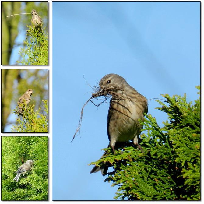 Wiosna,ptaki budują gniazda
