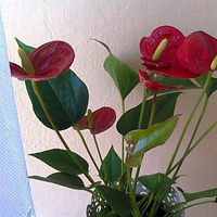 Anturium kwitnie