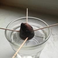 Avocado z pestki