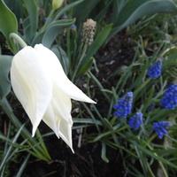 Biały tulipan kłania sie szafirkom...