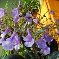 Chirita, kwiatki mojej olbrzymki :)