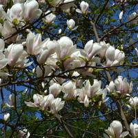 Drzewo magnoliowe