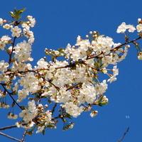 Gałązka drzewa kwitnącego na biało