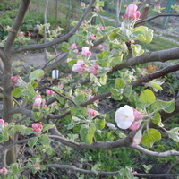 I znów zakwitły jabłonie.......