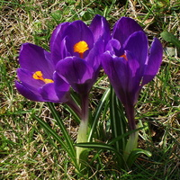 Krokusy cieszą się wiosną.