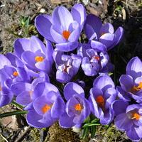 Krokusy fioletowe
