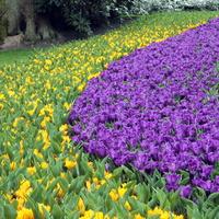 Krokusy i tulipany