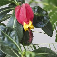 Kwiat abutilonu