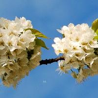Kwitną drzewa czereśniowe
