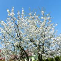 Kwitną drzewa owocowe- czereśnie