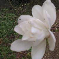 Magnolia gwiaździsta