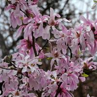 Magnolia, inny rodzaj