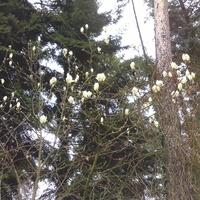 Magnolia naga........