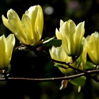 Magnolia o cytrynowym kolorze w O.B.