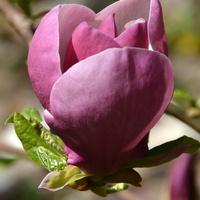 Magnolia zaczyna przekwitać.