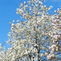 Magnolie już kwitną