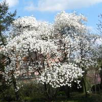 Magnolie,kwitną w Ogrodzie Botanicznym