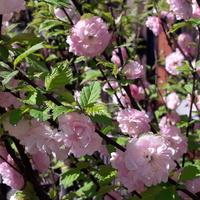 Migdałek - małe różyczki;-)