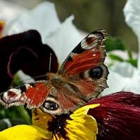 Mój pierwszy wiosenny motylek.