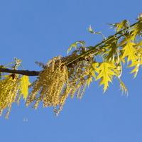 Na gałązce dębu są frędzle i liście.