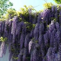 Osiedlowa wisteria...