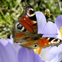 Pokazały się pierwsze motylki:)