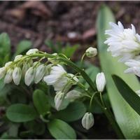 Puszkinia biała kończy kwitnienie...