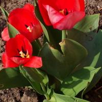 Spotkałem na moim osiedlu trzy tulipany.