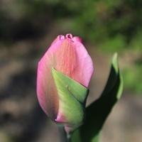 Taki tulipanek...