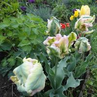 Tulipan zielonokwiatowy...