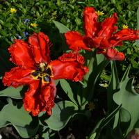 Tulipany papuzie w O.B.