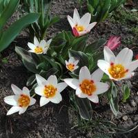 Tulipany po południu