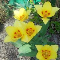 Tulipany-słonecznego wtorku...