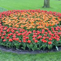 Tulipany,wiosenne kwiaty