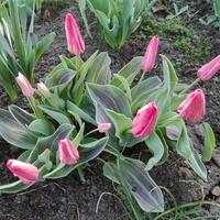 Tulipany z rana