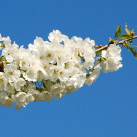Wiosenna gałązka drzewa owocowego