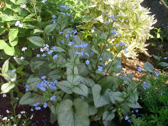 Brunera o niebieskich kwiatuszkach