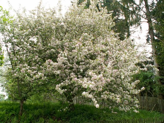 Jabłoń obsypana kwiatami