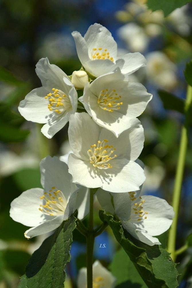 Kwiat jaśminowca w przybliżeniu.