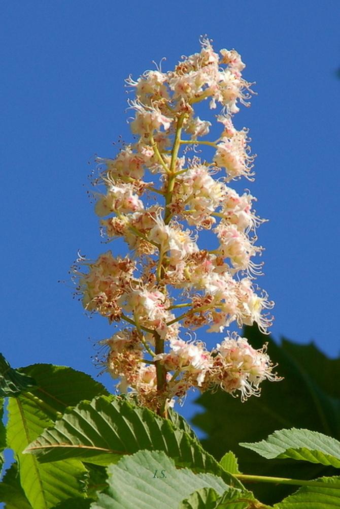 Kwiat kasztanowca.